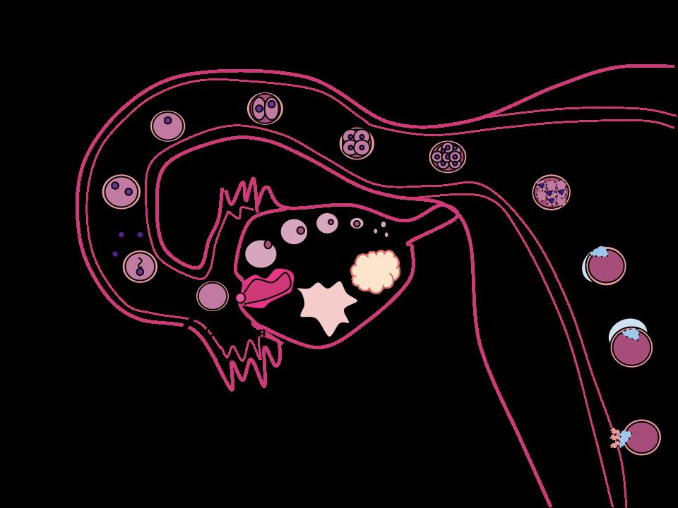 bevruchting-week-2-zwangerschap